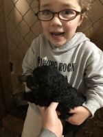 Golden Doodle Puppies for sale in Lenoir, NC, USA. price: NA