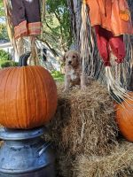 Golden Doodle Puppies for sale in Rochester, NY, USA. price: NA