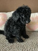 Golden Doodle Puppies for sale in Davenport, FL, USA. price: NA