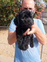 Golden Doodle Puppies for sale in Sacramento, CA 94206, USA. price: NA