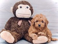 Golden Doodle Puppies for sale in Edgewood, KY, USA. price: NA