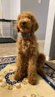 Golden Doodle Puppies for sale in Auburn, WA, USA. price: NA