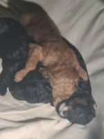Golden Doodle Puppies for sale in Adelanto, CA, USA. price: NA