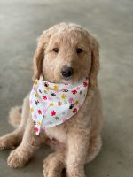 Golden Doodle Puppies for sale in Collierville, TN, USA. price: NA