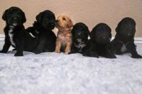 Golden Doodle Puppies for sale in San Jacinto, CA, USA. price: NA