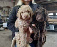 Golden Doodle Puppies for sale in Wills Point, TX 75169, USA. price: NA