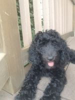 Golden Doodle Puppies for sale in Overland Park, KS, USA. price: NA