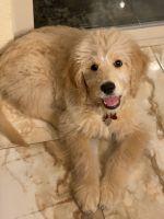 Golden Doodle Puppies for sale in Valencia, Santa Clarita, CA, USA. price: NA