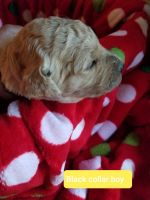 Golden Doodle Puppies for sale in Rimini, SC 29125, USA. price: NA