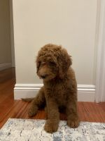 Golden Doodle Puppies for sale in Van Nuys, Los Angeles, CA, USA. price: NA