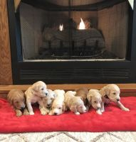 Golden Doodle Puppies for sale in Madisonville, KY 42431, USA. price: NA