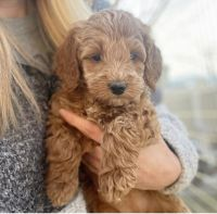 Golden Doodle Puppies for sale in Palm Springs, CA, USA. price: NA