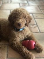 Golden Doodle Puppies for sale in Spring Hill, FL, USA. price: NA