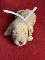 Golden Doodle Puppies for sale in Stephenville, TX 76401, USA. price: NA