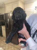 Golden Doodle Puppies for sale in Waxahachie, TX, USA. price: NA