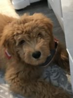 Golden Doodle Puppies for sale in Ocean City, NJ, USA. price: NA