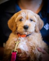 Golden Doodle Puppies for sale in San Jose, CA, USA. price: NA