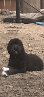 Golden Doodle Puppies for sale in Fillmore, CA 93015, USA. price: NA