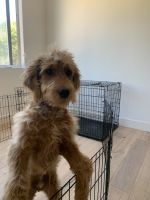 Golden Doodle Puppies for sale in Fullerton, CA, USA. price: NA