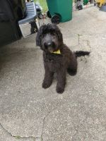Golden Doodle Puppies for sale in Gretna, LA, USA. price: NA