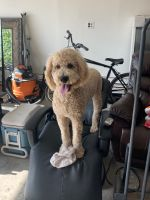 Golden Doodle Puppies for sale in Las Vegas, NV, USA. price: NA