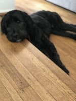 Golden Doodle Puppies for sale in Huntington Park, CA 90255, USA. price: NA