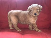 Golden Doodle Puppies for sale in Dearborn, MI, USA. price: NA