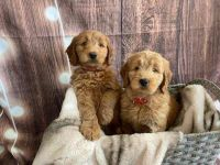 Golden Doodle Puppies for sale in Plymouth, MI 48170, USA. price: NA