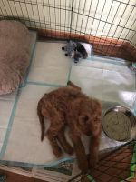 Golden Doodle Puppies for sale in Bartlett, IL, USA. price: NA
