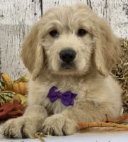 Golden Doodle Puppies for sale in Mentor, OH 44060, USA. price: NA