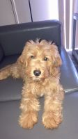 Golden Doodle Puppies for sale in Las Vegas, NV 89149, USA. price: NA