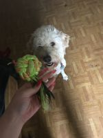 Golden Doodle Puppies for sale in St. Louis, MO, USA. price: NA