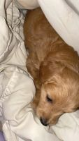 Golden Doodle Puppies for sale in Tamaqua, PA, USA. price: NA