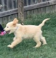 Golden Doodle Puppies for sale in Geneva, IL, USA. price: NA