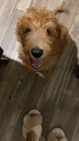 Golden Doodle Puppies for sale in Longwood, FL 32750, USA. price: NA
