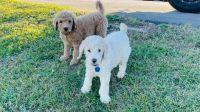 Golden Doodle Puppies for sale in Bristow, VA 20136, USA. price: NA