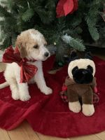 Golden Doodle Puppies for sale in Torrington, CT, USA. price: NA