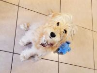 Golden Doodle Puppies for sale in Vero Beach, FL, USA. price: NA