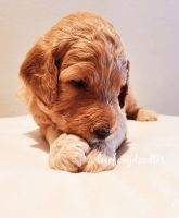Golden Doodle Puppies for sale in Aurora, CO, USA. price: NA