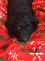 Golden Doodle Puppies for sale in Arab, AL 35016, USA. price: NA