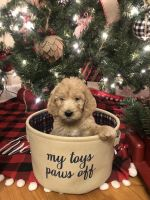 Golden Doodle Puppies for sale in Lumberton, NC, USA. price: NA