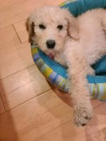 Golden Doodle Puppies for sale in Long Beach, CA, USA. price: NA