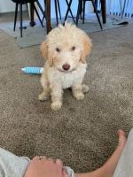 Golden Doodle Puppies for sale in Glendale, AZ 85308, USA. price: NA