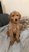 Golden Doodle Puppies for sale in Oxnard, CA, USA. price: NA