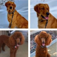 Golden Doodle Puppies for sale in Santa Barbara, CA, USA. price: NA