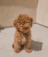 Golden Doodle Puppies for sale in El Paso, TX, USA. price: NA