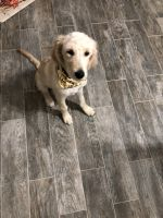 Golden Doodle Puppies for sale in Freehold, NJ 07728, USA. price: NA