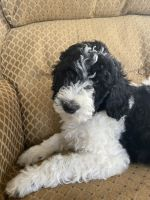 Golden Doodle Puppies for sale in 5060 Lancaster Rd, Hebron, OH 43025, USA. price: NA