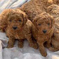 Golden Doodle Puppies for sale in New York, NY, USA. price: NA