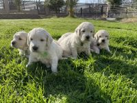 Golden Doodle Puppies for sale in Sacramento, CA, USA. price: NA